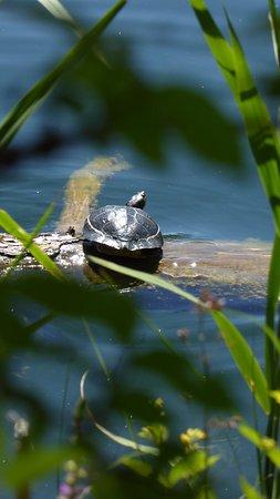 Appiano sulla Strada del Vino, Ιταλία: Wasserschildkröte beim Sonnenbad