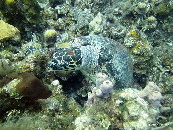 West End, Honduras: Variedades de Tortugas