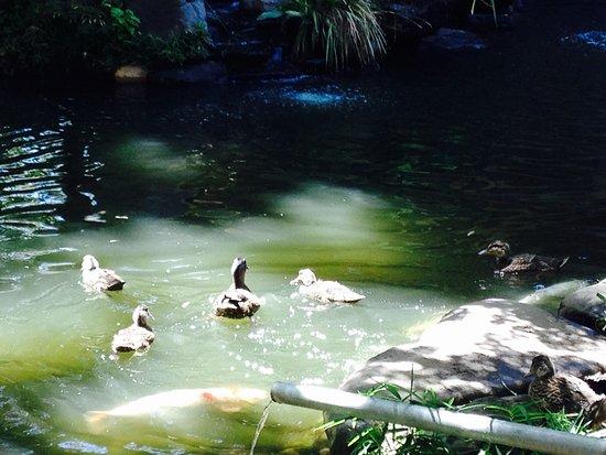 Dinah's Garden Hotel: Sweet ducks and ducklings!
