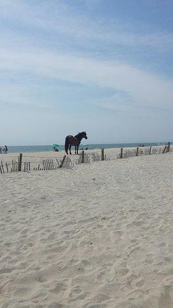Assateague Island National Seashore: Its beautiful to watch the horses run free!!