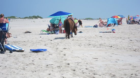 Assateague Island National Seashore: They come right up to you!