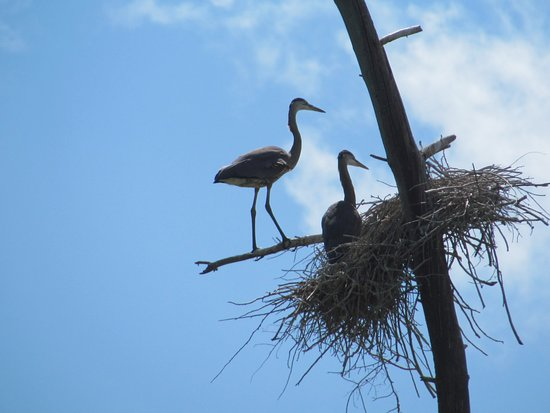 Port Carling, Canadá: Marsh nearby is perfect to watch the great blue herons nesting
