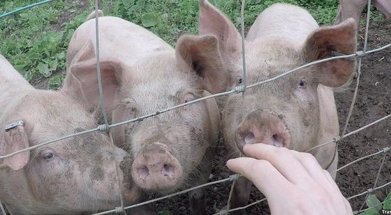 Knightwick, UK: Talbot pigs