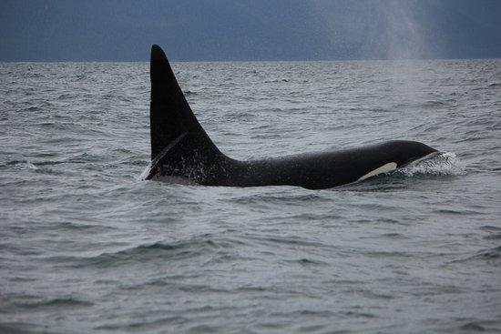 Harv and Marv's Outback Alaska: An Orca up nice and close