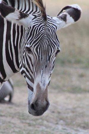 Cumberland, OH: Zebra