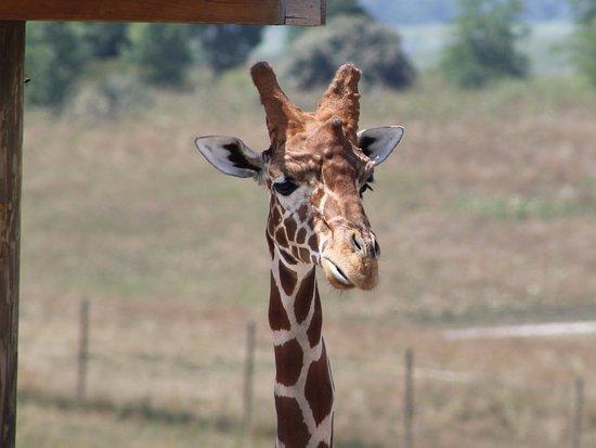 Cumberland, OH: Giraffe