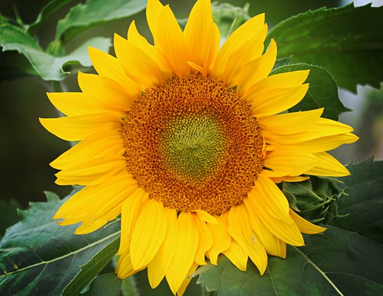 New Glasgow, Καναδάς: This sunflower greeted us as we entered the garden