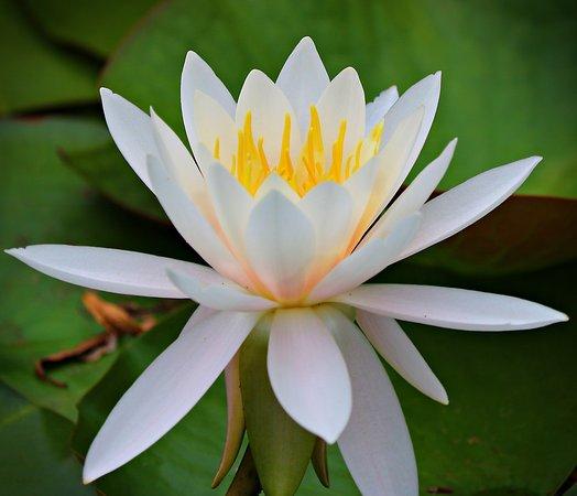 New Glasgow, Καναδάς: The water lilies were in full bloom.