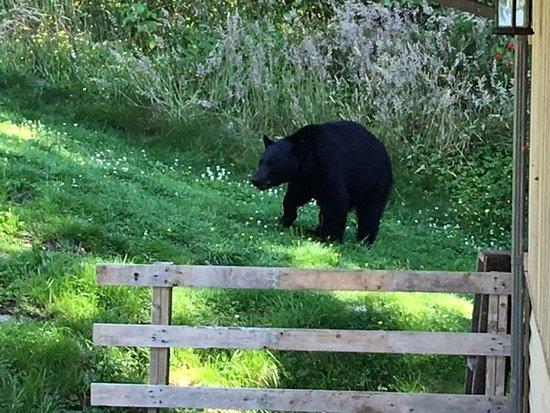 Seachart Lodge : Bear Who Came By The Lodge