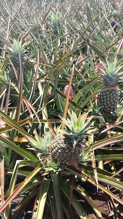 Makawao, HI: Enjoyed the Maui Pineapple Tour today.