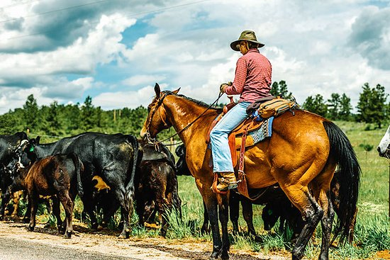 Red Feather Lakes, CO: Driving up to Shambala Mountain Center you may see local cowboys on a cattle drive.