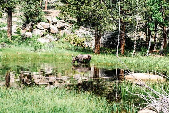 Red Feather Lakes, CO: Driving up to Shambala Mountain Center a moose takes a drink from a nearby pond.
