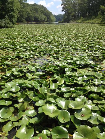 Sykesville, Maryland: lilypads!