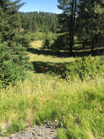 Latah Trail Bike Path: Happy cows grazing. After the woods, the trail runs through wheat fields.