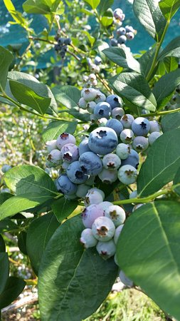 Stow, MA: big yummy blueberries
