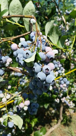 Stow, MA: blueberries!