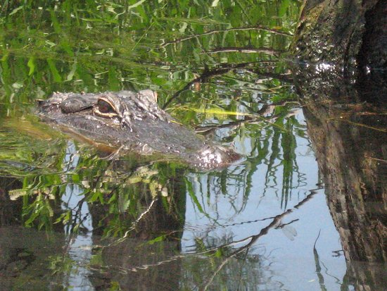 Folkston, GA: Hey, gator!