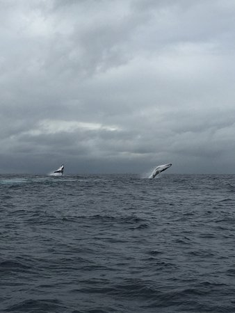 Nelson Bay, Αυστραλία: Double Breaching Humpback Whales - Imagine Cruises