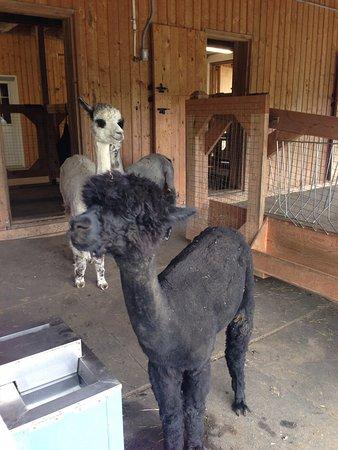 Sutton, Canada : Sous la grange, les enclos des alpagas sont aménagés pour le confort des bêtes