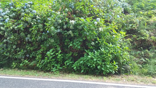 Quinault, WA: some of the wild hydrangeas