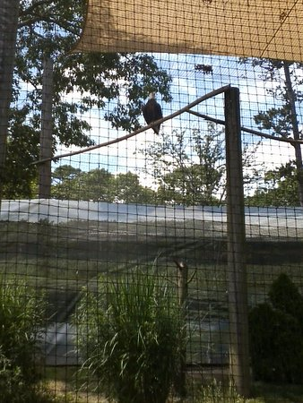 Cape May Court House, NJ: Bald Eagle at Cape May Zoo