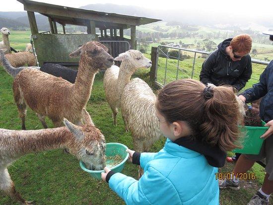 Waipu, Nieuw-Zeeland: Feeding the female Alpacas Suri at the farm