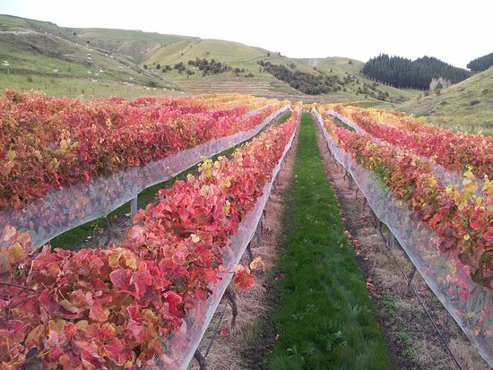 Napier, Nueva Zelanda: Autumn in Kanuaka Vineyard