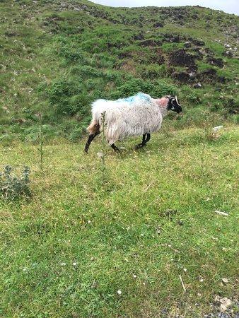 Atlantic Drive on Achill Island: Goats along the road