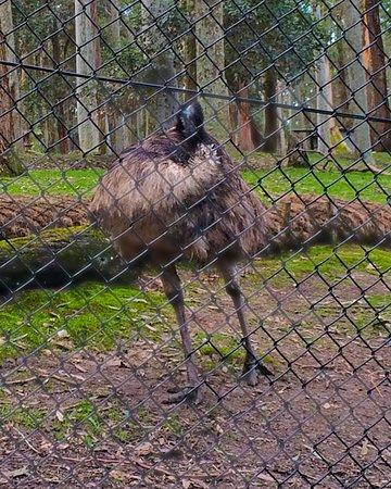 นิวคาสเซิล, ออสเตรเลีย: Emu pruning itself ready for a photo shoot!