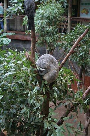 นิวคาสเซิล, ออสเตรเลีย: Please don't call me a Koala Bear - I'm a sleepy marsupial.