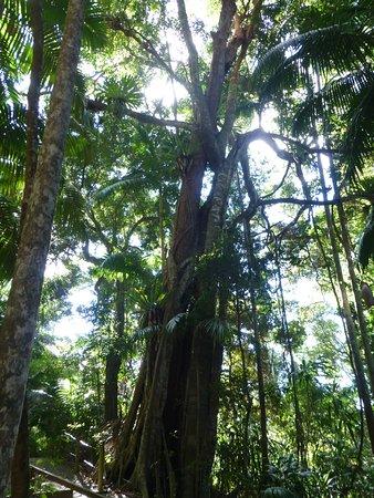 North Tamborine, Australia: large tree ferns on trees