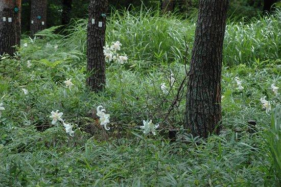 Musashi Kyuryo National Government Park : やまゆりがたくさん咲いています