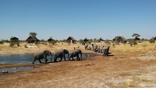 Nata, Botsuana: Elephants at the waterhole (view from bar area)