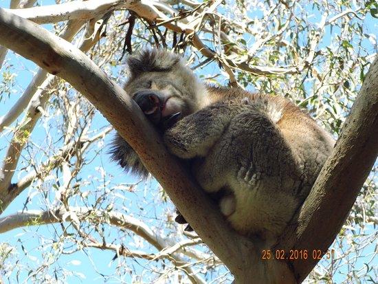 Cowes, Αυστραλία: Immer diese Touris, aber ich kann immer schlafen