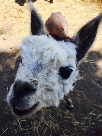 Congleton, UK: Alpacas up and close !