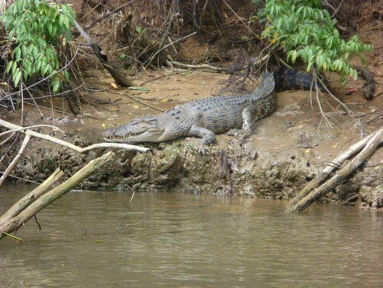 Daintree, Australia: Croc sighting