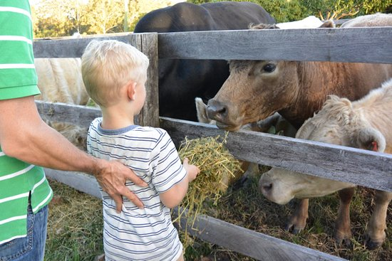 Mororo, Australie : reluctant city kid feeding gorgeous mooing cows