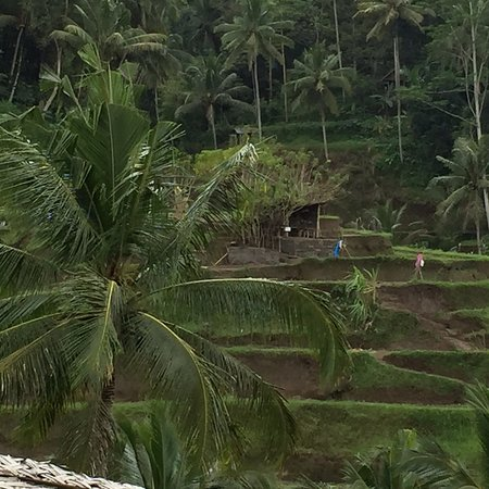 Tegalalang, Indonesia: Rice fields on the steep slopes