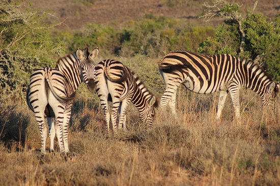 Kwandwe Private Game Reserve, Sør-Afrika: Zebras