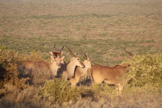 Kwandwe Private Game Reserve, Güney Afrika: Impalas?