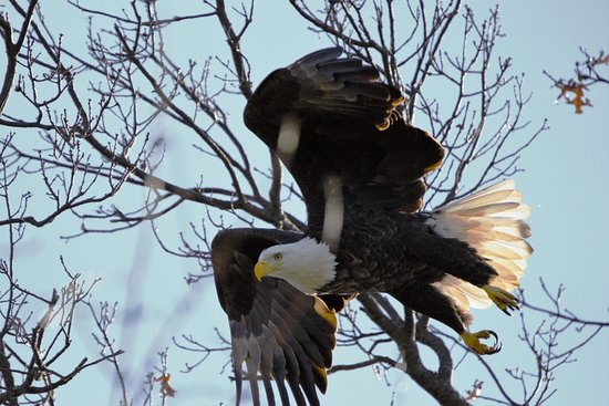 Alton, IL: Just one of the several eagles we seen