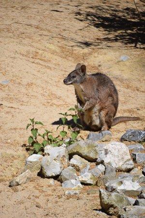 Antwerp Zoo (Dierentuin): kleine kangoeroe