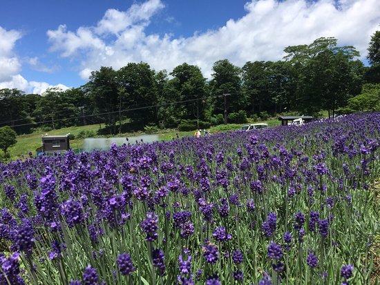 ผลการค้นหารูปภาพสำหรับ Tambara Lavender Park