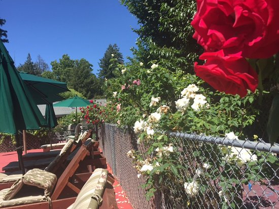 The Woods Resort at the Russian River : Roses bordering one side of the pool area.