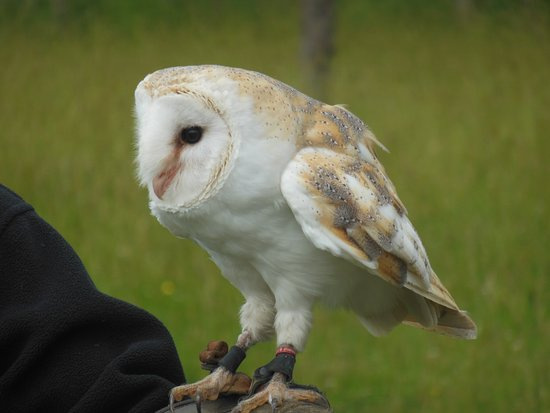 Huntly, UK: Barn owl