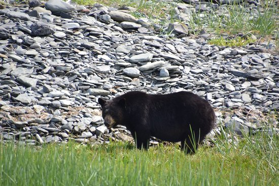 Kayak Adventures Worldwide - Day Trips: Black bear sharing our beach