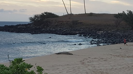 Maunaloa, HI: Monk Seal resting on Kepuhi Beach.....Stay far away from these endangered animals!