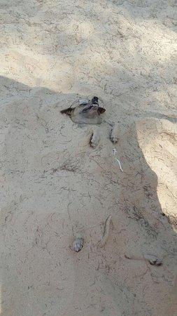 Sakhu, Thailand: Главные обитатели пляжа- собаки ( от жары прятались в песке) просто спит, просто устал.