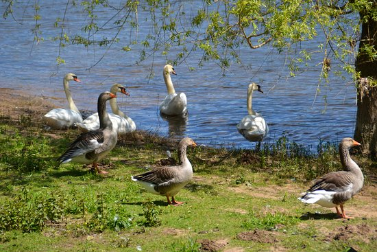 Lalinde, Frankreich: Swans and Geese