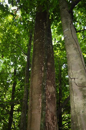 Dominical, Costa Rica: This secondary rain forest tree grow so fast - this tree is only about 40 years old